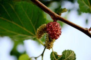 Лечение с Черничеви листа